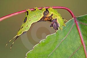 Caterpillar On Aspen Royalty Free Stock Photos - Image: 5840698