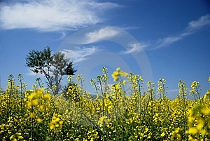 Tree And Rape-flower Stock Photography - Image: 5854062