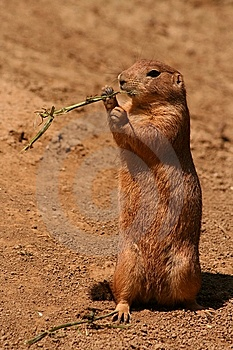 Prairie Dog Royalty Free Stock Images - Image: 5854809
