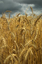 Wheat field and dark sky Royalty Free Stock Photo