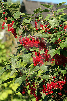 Red Currant Stock Images - Image: 5860574