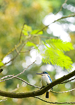 Kingfisher In Tree Royalty Free Stock Images - Image: 5867009