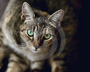 Gazing Cat Royalty Free Stock Image - Image: 5871266