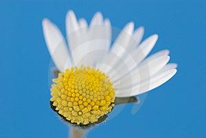 Broken Daisy Stock Image - Image: 5874861