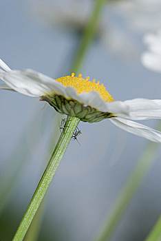 Daisy And Insects Royalty Free Stock Photo - Image: 5874945