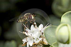 Hoverfly Feeding On Nectar Of Flower Royalty Free Stock Photography - Image: 5878127