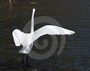 Great White Egret Dances Royalty Free Stock Photography - Image: 5878987
