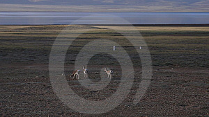 Oryx In Qinghai-Tibet Platean Stock Photography - Image: 5880012