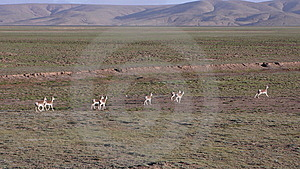 Oryx In Qinghai-Tibet Platean Stock Photography - Image: 5880092
