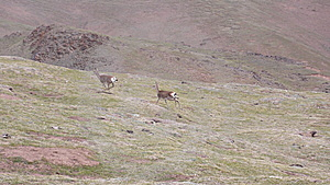 Oryx In Qinghai-Tibet Platean Stock Photo - Image: 5880140