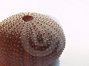 Fragment Of Sea Hedgehog Royalty Free Stock Photography - Image: 5888067