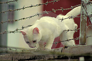 Cat Through Barbed Wire Royalty Free Stock Photo - Image: 5896765