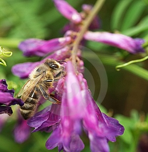 Bee On Blossom Stock Photos - Image: 5897983
