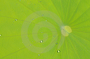 The Lotus Leave With Water Drop Stock Photo - Image: 5899880