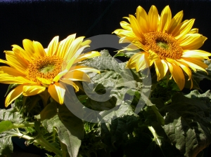 Sunflowers In August Royalty Free Stock Images - Image: 591319