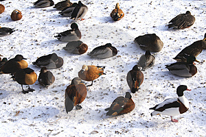 Ducks Stock Photography - Image: 599532