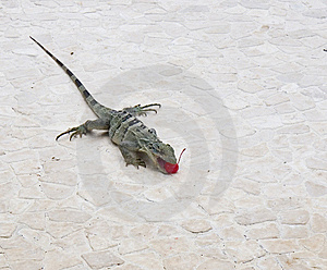 Iguana Eating Red Cherry Royalty Free Stock Photography - Image: 5904477