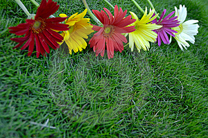 Daisies On Green Grass Royalty Free Stock Photo - Image: 5916335