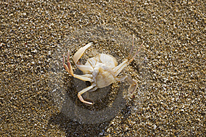 Crab On The Sand Royalty Free Stock Images - Image: 5918929