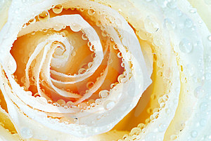Rose With  Drops Royalty Free Stock Image - Image: 5922406