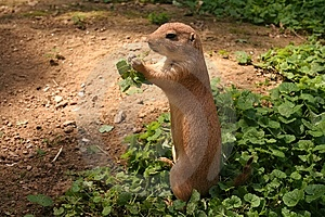 Prairie Dog Stock Photo - Image: 5927060