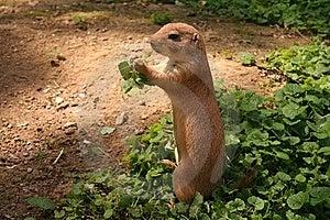 Prairie Dog Stock Photo - Image: 5927060