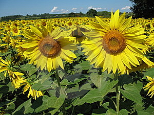 Sunflowers Field Stock Image - Image: 5931561