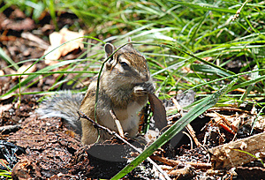 Chipmunk With Food Stock Images - Image: 5932544