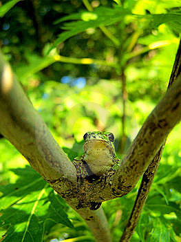 Tree Frog Stock Photos - Image: 5938143