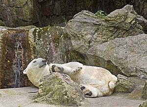 Polar Bear At Rest Stock Photo - Image: 5938990