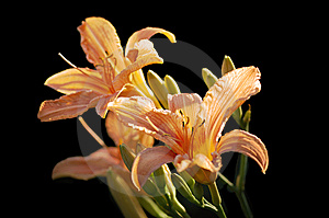 Tiger Lily Royalty Free Stock Photos - Image: 5948878