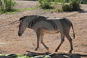 Zebra Walking Stock Image - Image: 5953801