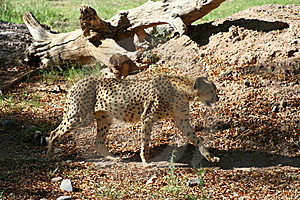 Cheetah Walking Royalty Free Stock Image - Image: 5953806