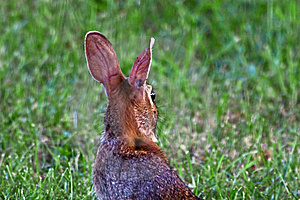 Eastern Cottontail Rabbit Stock Photography - Image: 5954242
