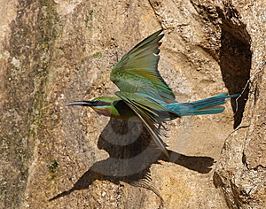 Bee Eater Stock Images - Image: 5955234