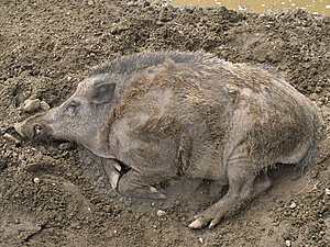 Wild Boar Royalty Free Stock Photos - Image: 5955318