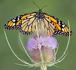 Monarch On Teasel Stock Photo - Image: 5958740