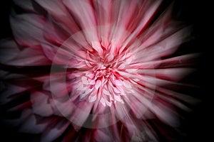 Zoomed Dahlia Stock Image - Image: 5960681