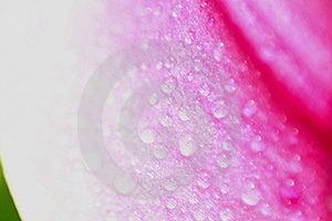 Pink Petal Royalty Free Stock Image - Image: 5972136