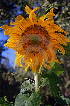 Golden Sun Flower Stock Image - Image: 5974091