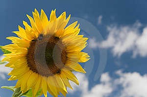 Sunflower Stock Photography - Image: 5983042