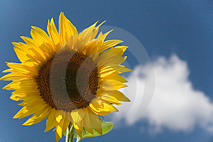 Sunflower Royalty Free Stock Images - Image: 5983109