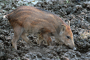 Wild Boar Royalty Free Stock Image - Image: 5992006
