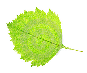 Leaf On A Gleam Stock Photos - Image: 5993243