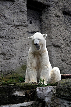 Polar Bear Gaping Royalty Free Stock Photos - Image: 5994338
