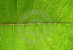 Underside Of Green Leaf Royalty Free Stock Images - Image: 5995189