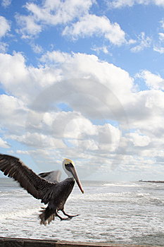Pelican Lands On Pier Royalty Free Stock Photo - Image: 5996305
