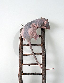 Furless Rat On A Toy Staircase Royalty Free Stock Photos - Image: 5996438