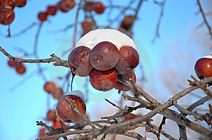 Snow Covered Crabapples Free Stock Photo