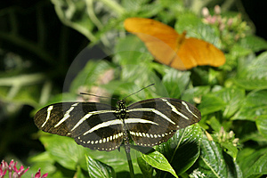 Tropical Butterfly Free Stock Image